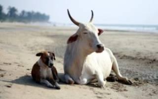 Совместимость Быка и Собаки — насколько будут удачны отношения, описание разных аспектов их жизни вместе